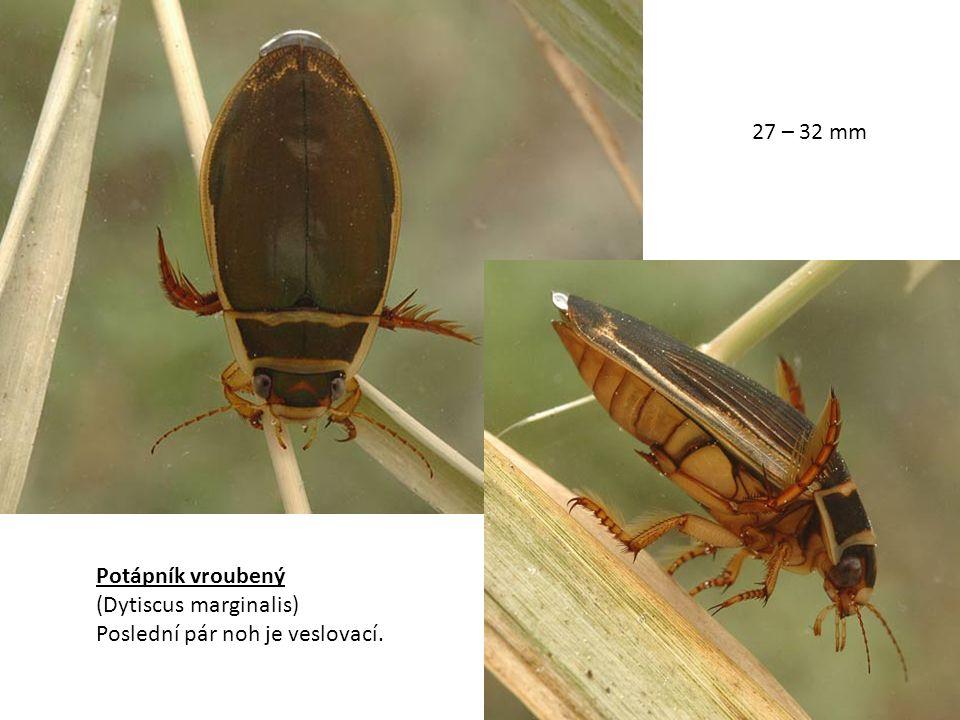 Potápník vroubený (Dytiscus marginalis) Poslední pár noh je veslovací. 27 – 32 mm