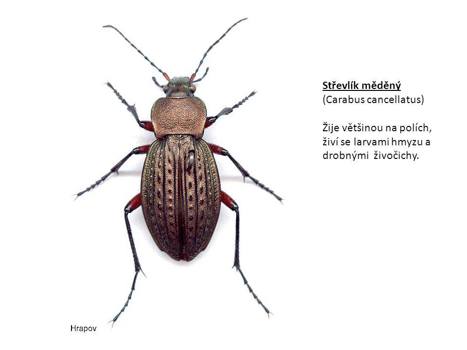 Střevlík měděný (Carabus cancellatus) Žije většinou na polích, živí se larvami hmyzu a drobnými živočichy.