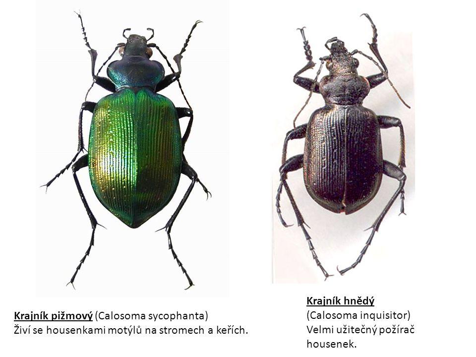 Krajník pižmový (Calosoma sycophanta) Živí se housenkami motýlů na stromech a keřích.