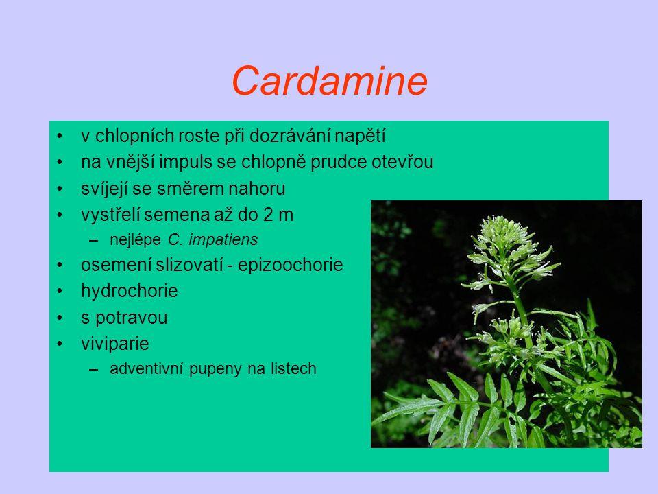 Cardamine v chlopních roste při dozrávání napětí na vnější impuls se chlopně prudce otevřou svíjejí se směrem nahoru vystřelí semena až do 2 m –nejlép