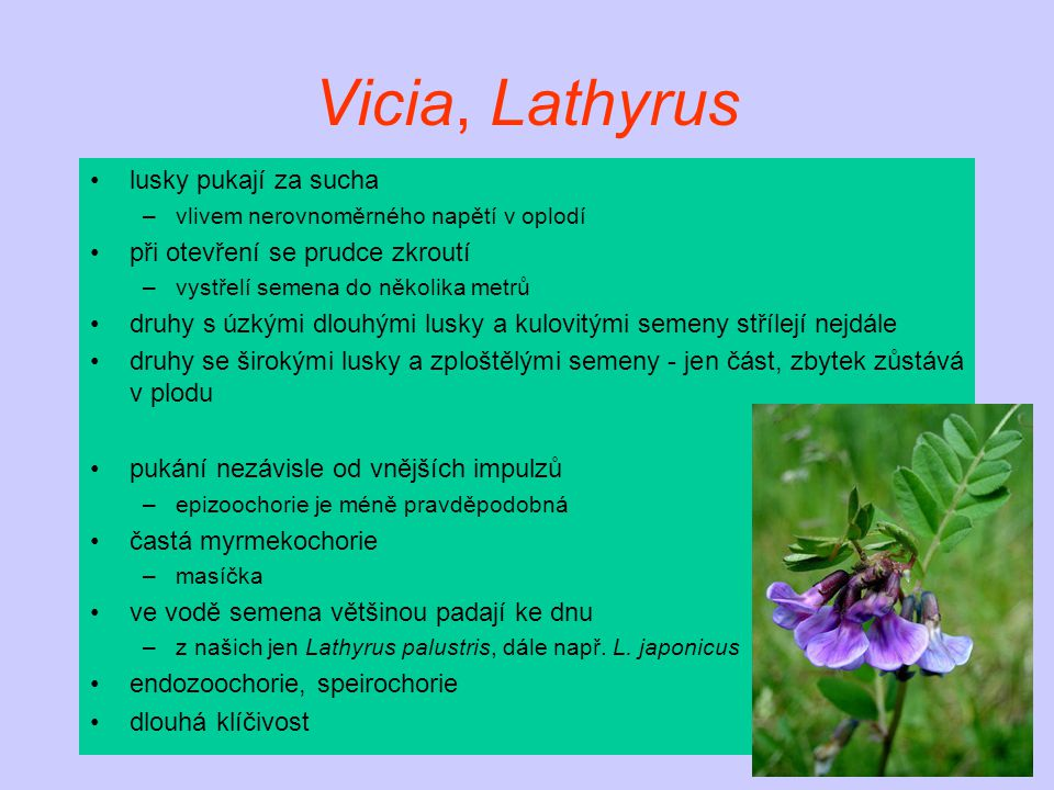 Vicia, Lathyrus lusky pukají za sucha –vlivem nerovnoměrného napětí v oplodí při otevření se prudce zkroutí –vystřelí semena do několika metrů druhy s