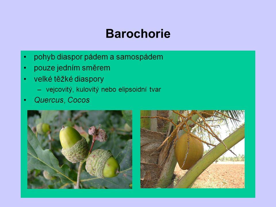 Barochorie pohyb diaspor pádem a samospádem pouze jedním směrem velké těžké diaspory –vejcovitý, kulovitý nebo elipsoidní tvar Quercus, Cocos