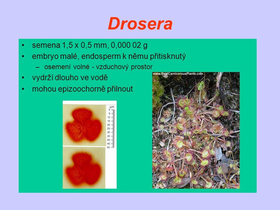 Drosera semena 1,5 x 0,5 mm, 0,000 02 g embryo malé, endosperm k němu přitisknutý –osemení volné - vzduchový prostor vydrží dlouho ve vodě mohou epizo
