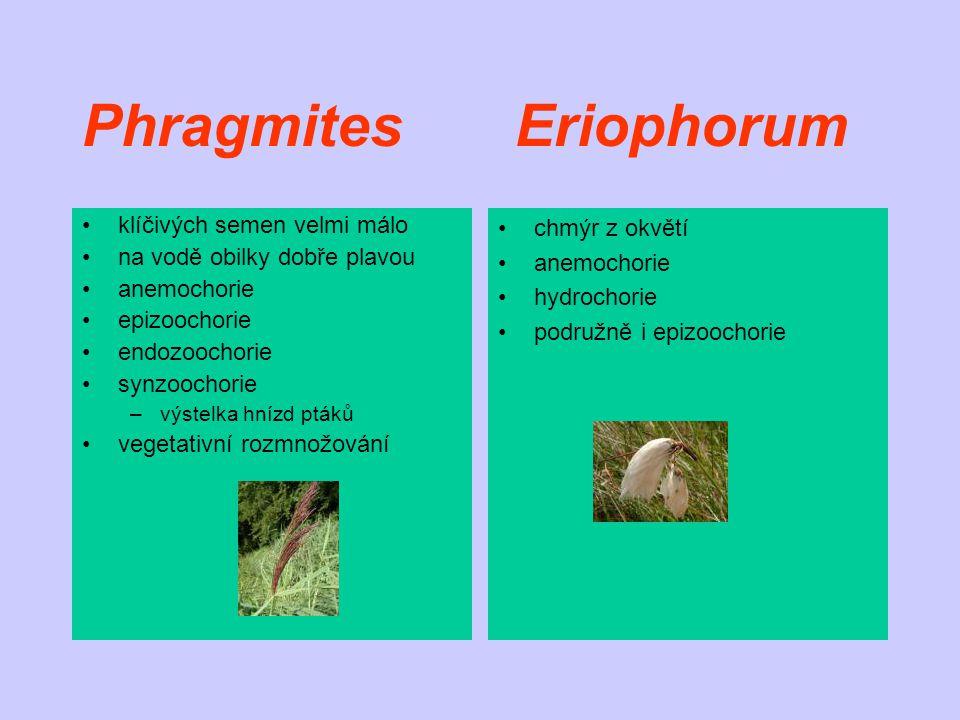Phragmites Eriophorum klíčivých semen velmi málo na vodě obilky dobře plavou anemochorie epizoochorie endozoochorie synzoochorie –výstelka hnízd ptáků