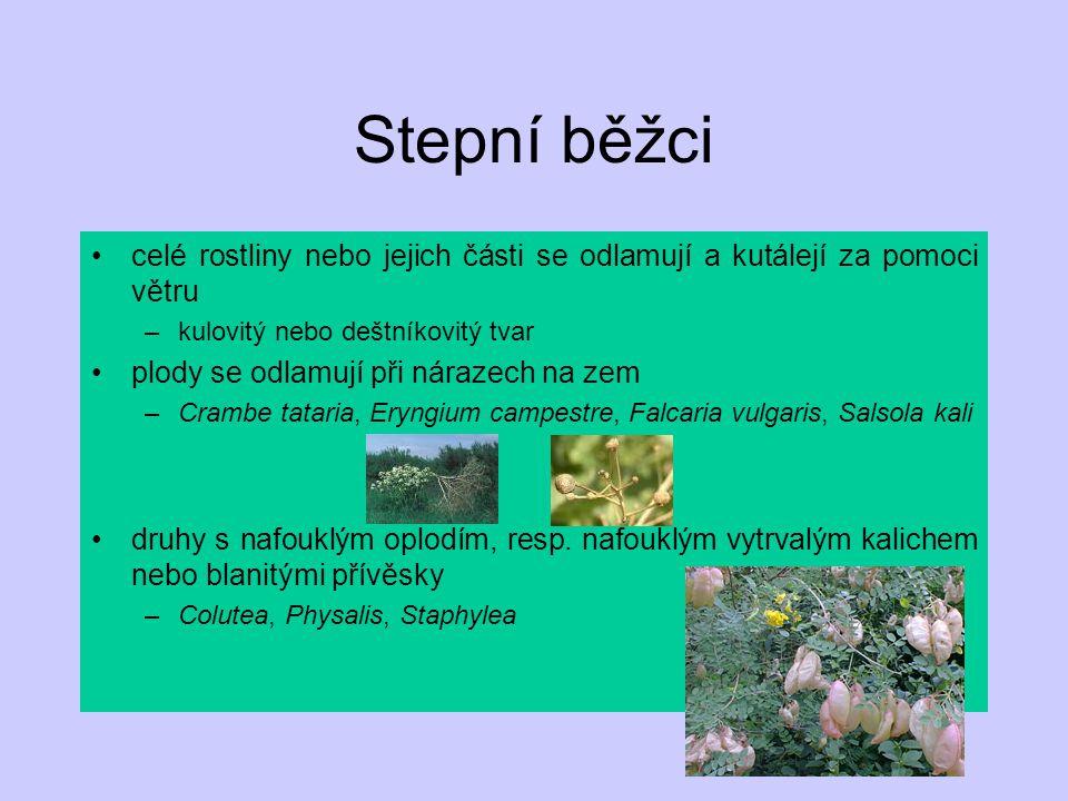 Stepní běžci celé rostliny nebo jejich části se odlamují a kutálejí za pomoci větru –kulovitý nebo deštníkovitý tvar plody se odlamují při nárazech na
