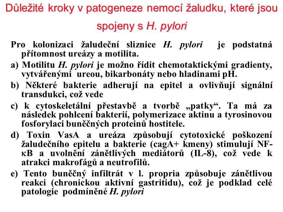 Důležité kroky v patogeneze nemocí žaludku, které jsou spojeny s H. pylori Pro kolonizaci žaludeční sliznice H. pylori je podstatná přítomnost ureázy