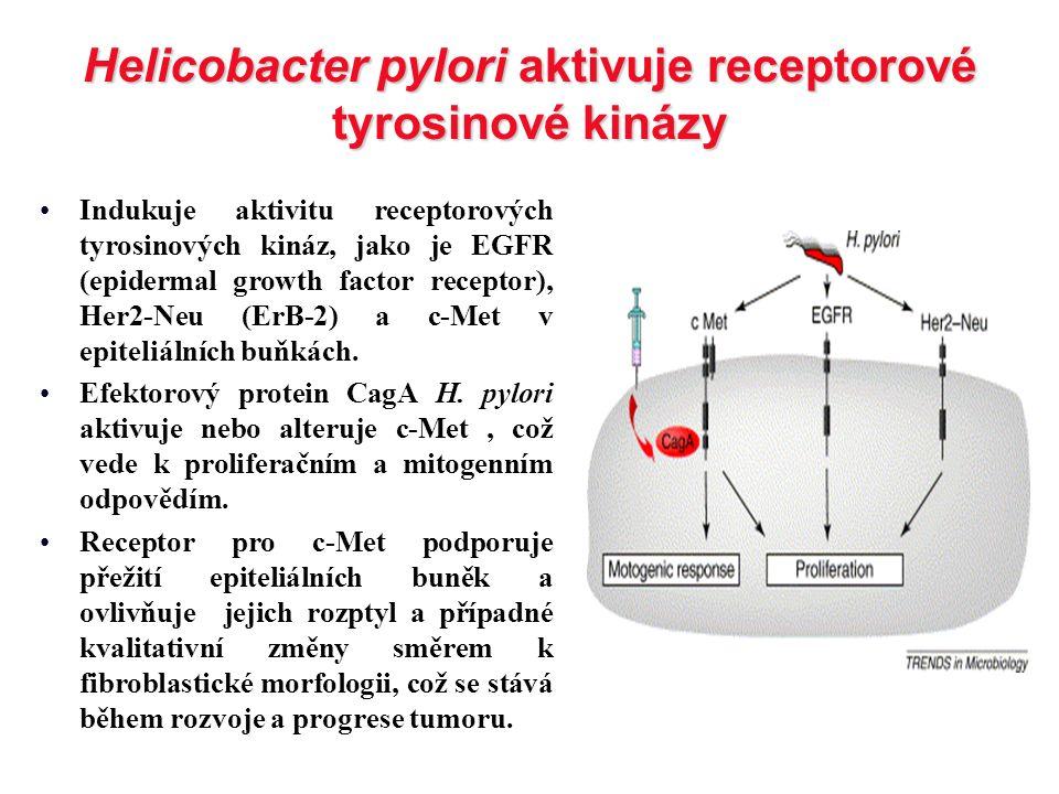 Helicobacter pylori aktivuje receptorové tyrosinové kinázy Indukuje aktivitu receptorových tyrosinových kináz, jako je EGFR (epidermal growth factor r