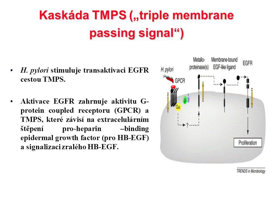 "Kaskáda TMPS (""triple membrane passing signal"") H. pylori stimuluje transaktivaci EGFR cestou TMPS. Aktivace EGFR zahrnuje aktivitu G- protein coupled"