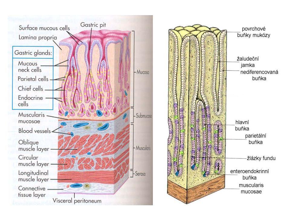Gastritidy Poruchy sekrece kyseliny jsou nejčastěji vyvolány gastritidou (x maximální hypersekrece HCl – u gastrinomu) Akutní gastritidy Zánětlivý proces s hyperémií, erozemi až vředy Formy: * hemoragicko-erozivní gastritida * akutní stresový vřed Etiologie: infekce, alkohol, závadné jídlo, kouření, radiace, šokové stavy, NSAID….