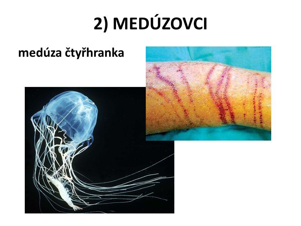 2) MEDÚZOVCI medúza čtyřhranka