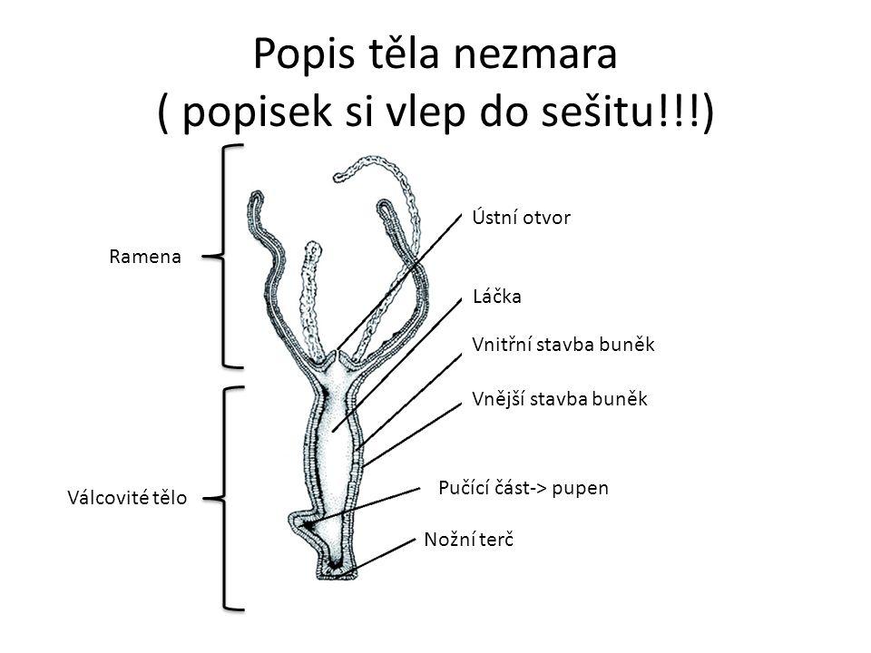 Popis těla nezmara ( popisek si vlep do sešitu!!!) Ústní otvor Láčka Vnitřní stavba buněk Vnější stavba buněk Nožní terč Pučící část-> pupen Ramena Vá