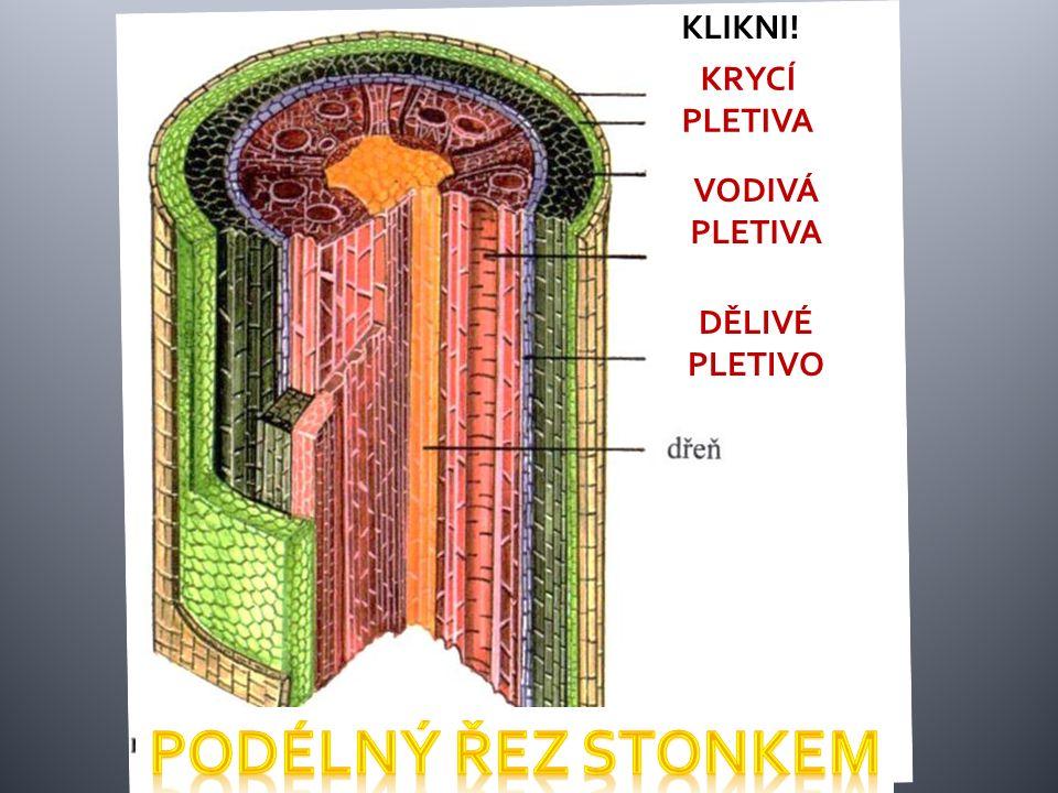 Stonek Význam : 1.umožňuje růst rostliny 2.nese listy a květy 3.rozvádí látky mezi kořenem a listy Podle stonku: DŘEVINY: stromy, keře, polokeře – stonek tloustne a v dřevní části tvoří letokruhy BYLINY – dužnatý stonek: lodyha, stvol, stéblo, oddenek Na stonku – pupeny šupiny chrání základ listů, květů nebo vzrostný vrchol Povrch stonku chrání krycí pletivo.