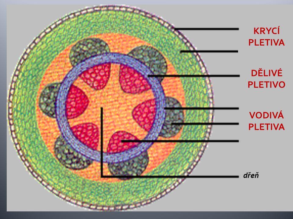 kůra dřeň cévní svazek lýková část dřevní část pokožka kambium KRYCÍ PLETIVA VODIVÁ PLETIVA DĚLIVÉ PLETIVO