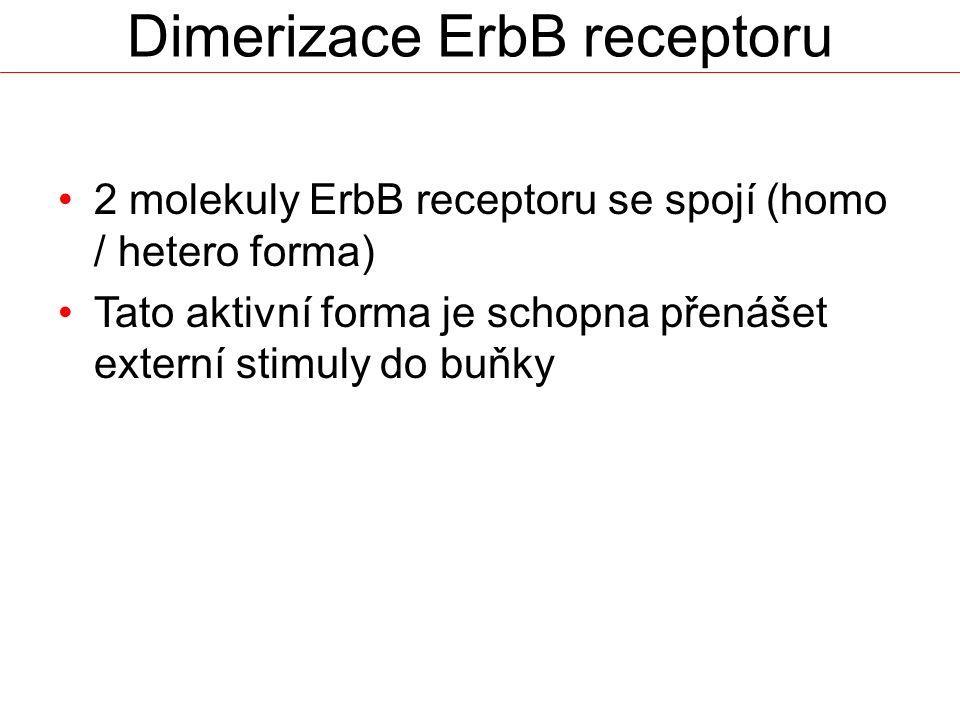 Dimerizace ErbB receptoru 2 molekuly ErbB receptoru se spojí (homo / hetero forma) Tato aktivní forma je schopna přenášet externí stimuly do buňky