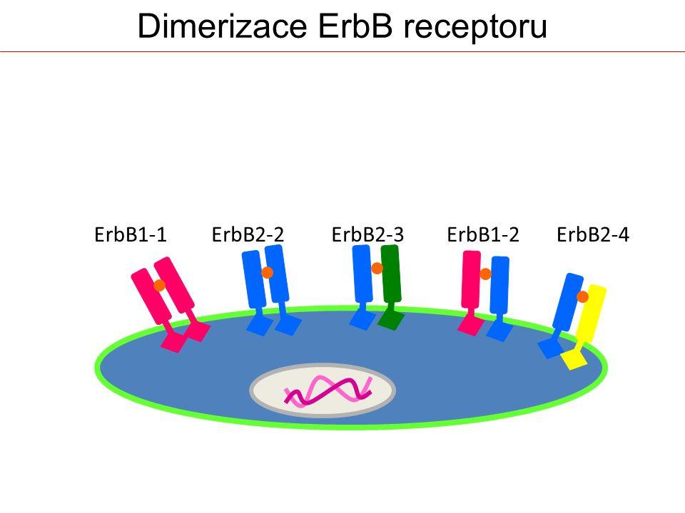Dimerizace ErbB receptoru ErbB1-1ErbB2-2ErbB2-3ErbB1-2ErbB2-4
