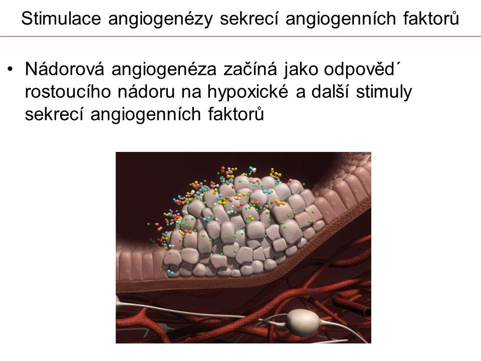 Stimulace angiogenézy sekrecí angiogenních faktorů Nádorová angiogenéza začíná jako odpověd´ rostoucího nádoru na hypoxické a další stimuly sekrecí an
