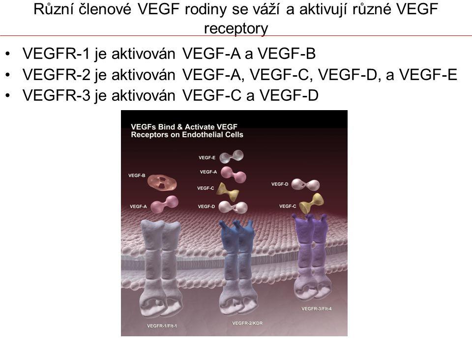Různí členové VEGF rodiny se váží a aktivují různé VEGF receptory VEGFR-1 je aktivován VEGF-A a VEGF-B VEGFR-2 je aktivován VEGF-A, VEGF-C, VEGF-D, a