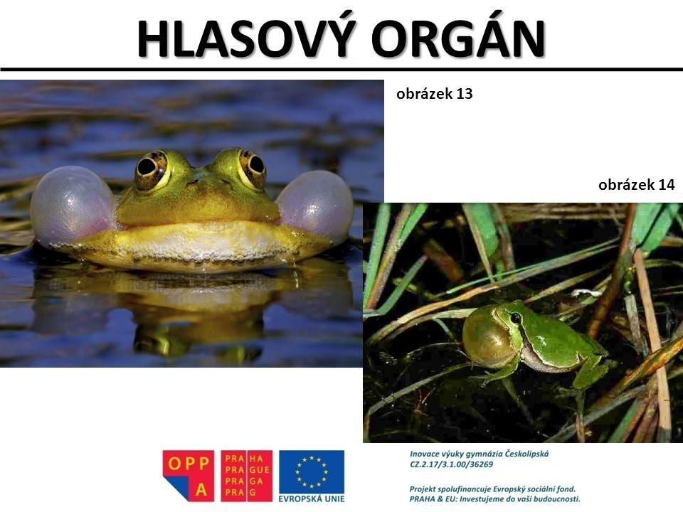 HLASOVÝ ORGÁN obrázek 13 obrázek 14