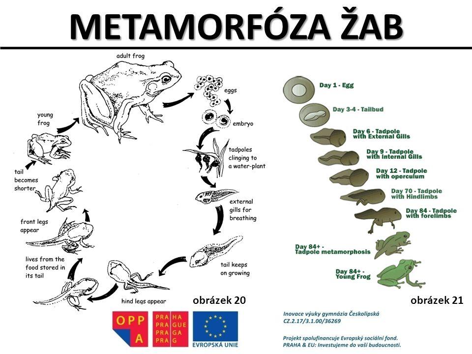 METAMORFÓZA ŽAB obrázek 20obrázek 21