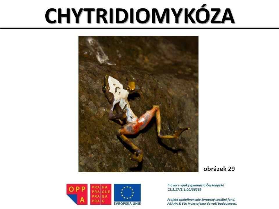 CHYTRIDIOMYKÓZA obrázek 29