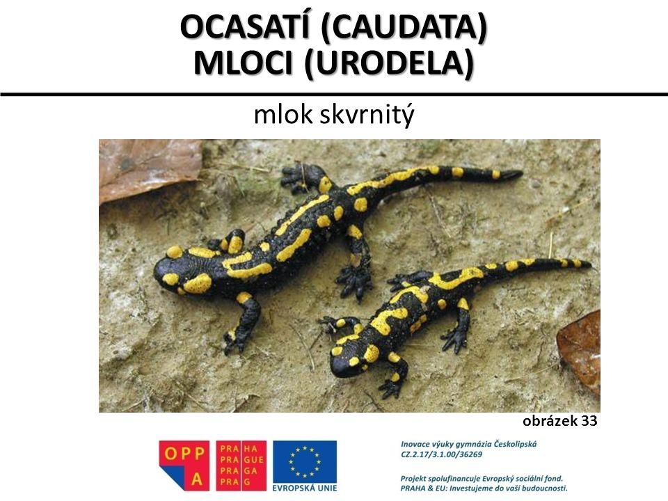 mlok skvrnitý OCASATÍ (CAUDATA) MLOCI (URODELA) obrázek 33
