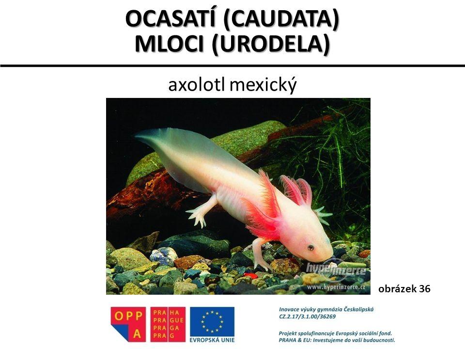 axolotl mexický OCASATÍ (CAUDATA) MLOCI (URODELA) obrázek 36