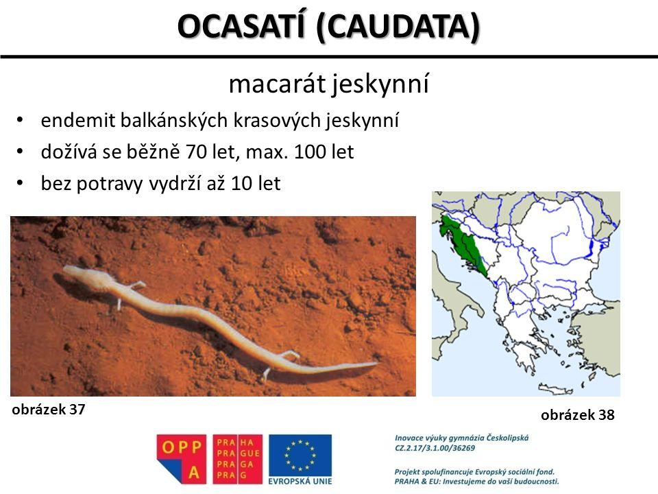 endemit balkánských krasových jeskynní dožívá se běžně 70 let, max. 100 let bez potravy vydrží až 10 let OCASATÍ (CAUDATA) macarát jeskynní obrázek 37
