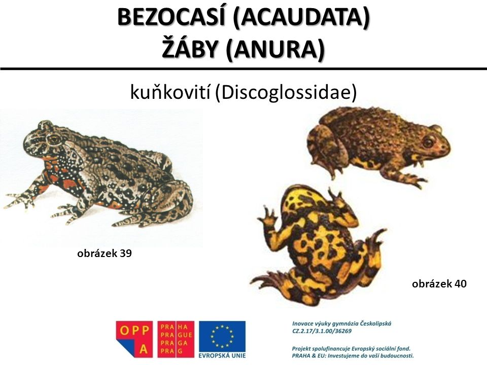 BEZOCASÍ (ACAUDATA) ŽÁBY (ANURA) kuňkovití (Discoglossidae) obrázek 39 obrázek 40