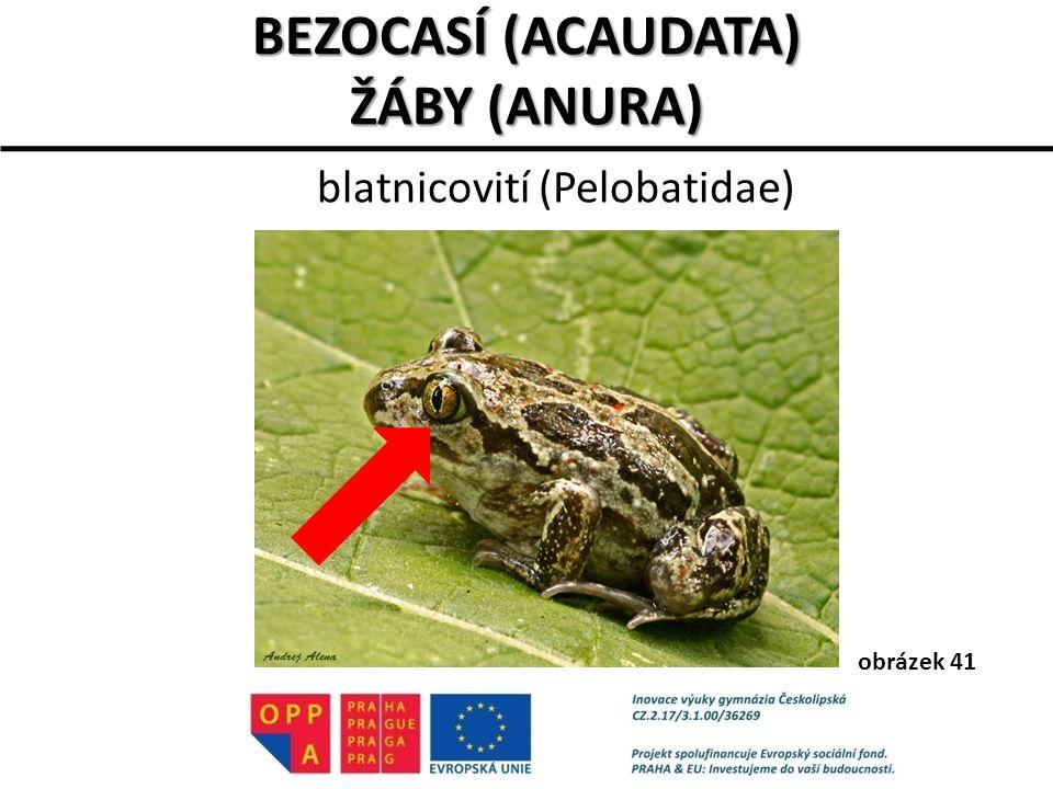 blatnicovití (Pelobatidae) BEZOCASÍ (ACAUDATA) ŽÁBY (ANURA) obrázek 41