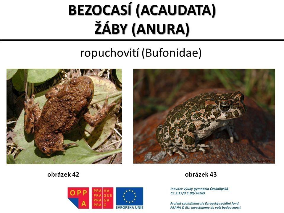 ropuchovití (Bufonidae) BEZOCASÍ (ACAUDATA) ŽÁBY (ANURA) obrázek 42obrázek 43