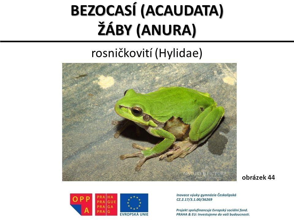 rosničkovití (Hylidae) BEZOCASÍ (ACAUDATA) ŽÁBY (ANURA) obrázek 44