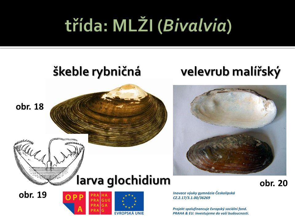 škeble rybničná velevrub malířský larva glochidium obr. 18 obr. 19 obr. 20