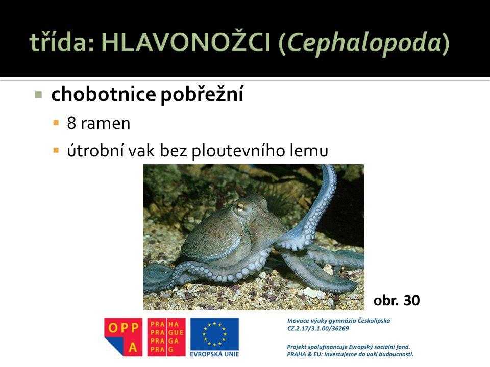  chobotnice pobřežní  8 ramen  útrobní vak bez ploutevního lemu obr. 30