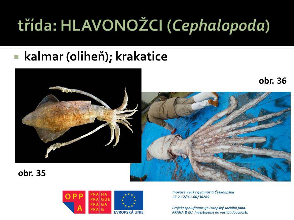  kalmar (oliheň); krakatice obr. 35 obr. 36