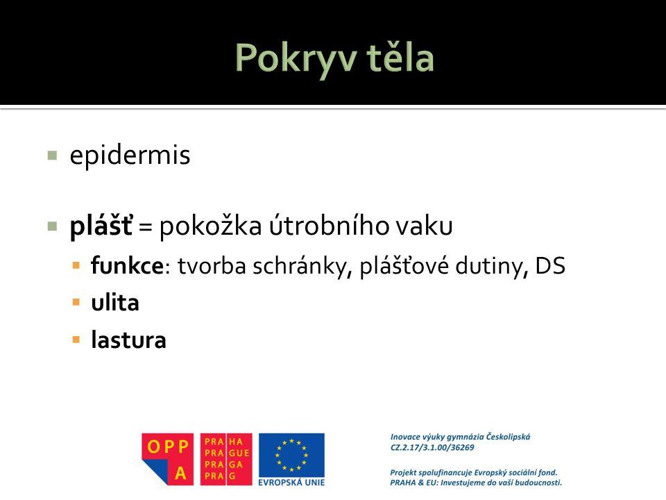  epidermis  plášť = pokožka útrobního vaku  funkce: tvorba schránky, plášťové dutiny, DS  ulita  lastura