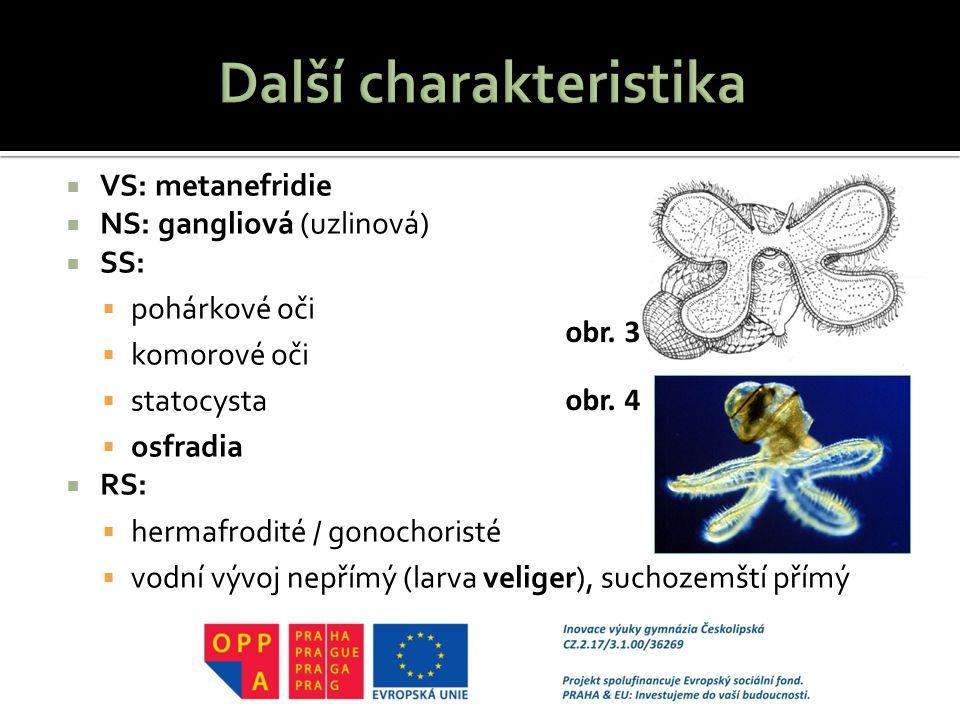  VS: metanefridie  NS: gangliová (uzlinová)  SS:  pohárkové oči  komorové oči  statocysta  osfradia  RS:  hermafrodité / gonochoristé  vodní vývoj nepřímý (larva veliger), suchozemští přímý obr.