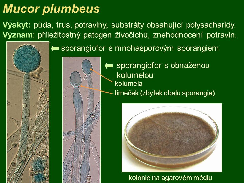 Mucor plumbeus kolonie na agarovém médiu sporangiofor s mnohasporovým sporangiem Výskyt: půda, trus, potraviny, substráty obsahující polysacharidy. Vý
