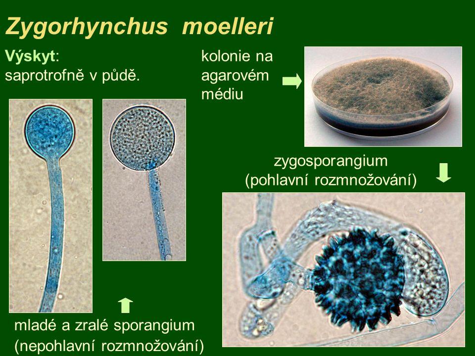 Zygorhynchus moelleri kolonie na agarovém médiu mladé a zralé sporangium (nepohlavní rozmnožování) Výskyt: saprotrofně v půdě. zygosporangium (pohlavn