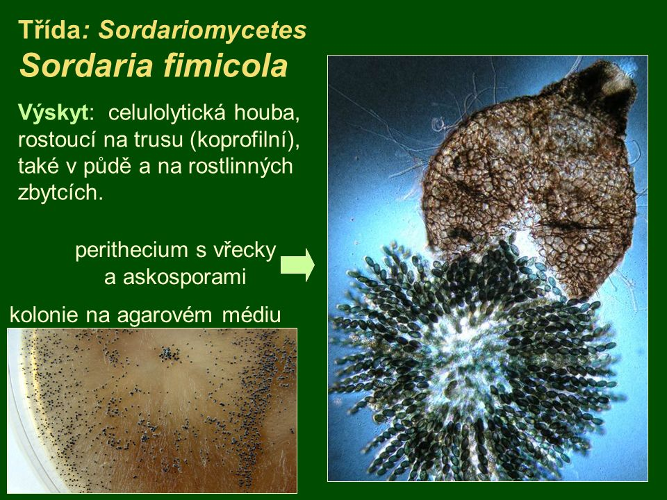 Třída: Sordariomycetes Sordaria fimicola kolonie na agarovém médiu Výskyt: celulolytická houba, rostoucí na trusu (koprofilní), také v půdě a na rostl