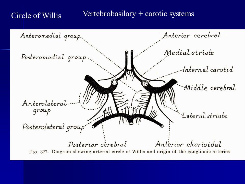 Circle of Willis Vertebrobasilary + carotic systems