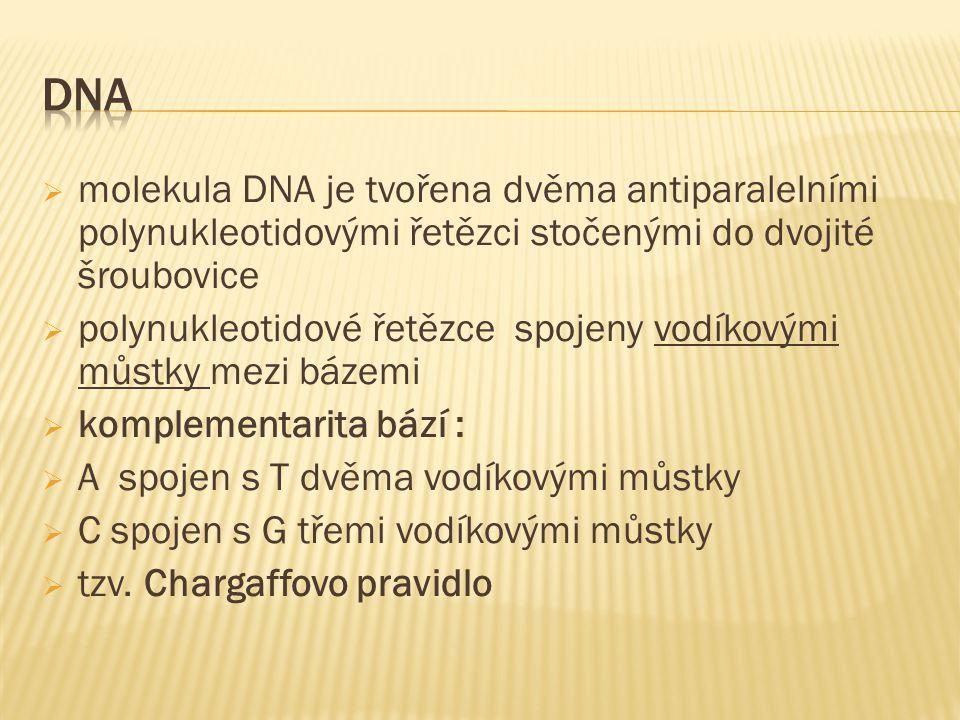 molekula DNA je tvořena dvěma antiparalelními polynukleotidovými řetězci stočenými do dvojité šroubovice  polynukleotidové řetězce spojeny vodíkovými můstky mezi bázemi  komplementarita bází :  A spojen s T dvěma vodíkovými můstky  C spojen s G třemi vodíkovými můstky  tzv.