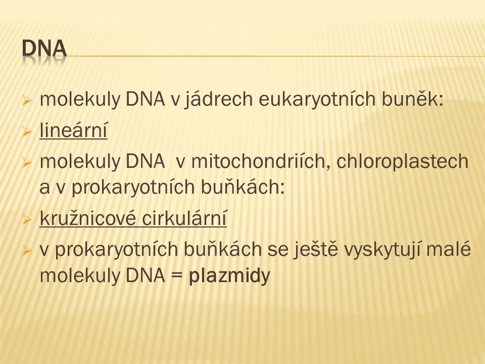  molekuly DNA v jádrech eukaryotních buněk:  lineární  molekuly DNA v mitochondriích, chloroplastech a v prokaryotních buňkách:  kružnicové cirkulární  v prokaryotních buňkách se ještě vyskytují malé molekuly DNA = plazmidy