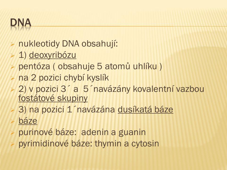  nukleotidy DNA obsahují:  1) deoxyribózu  pentóza ( obsahuje 5 atomů uhlíku )  na 2 pozici chybí kyslík  2) v pozici 3´ a 5´navázány kovalentní vazbou fostátové skupiny  3) na pozici 1´navázána dusíkatá báze  báze  purinové báze: adenin a guanin  pyrimidinové báze: thymin a cytosin