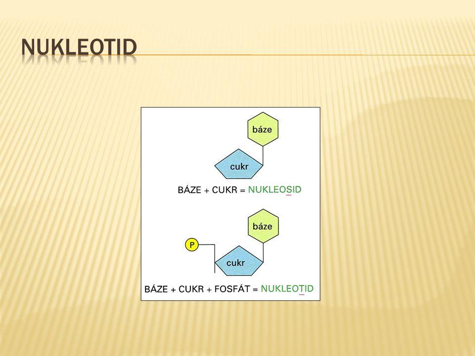  nukleotidy uspořádány za sebou v určitém pořadí = sekvenci  gen v DNA = charakteristická sekvence nukleotidů  sekvence zapisujeme zkratkami bází:  např.