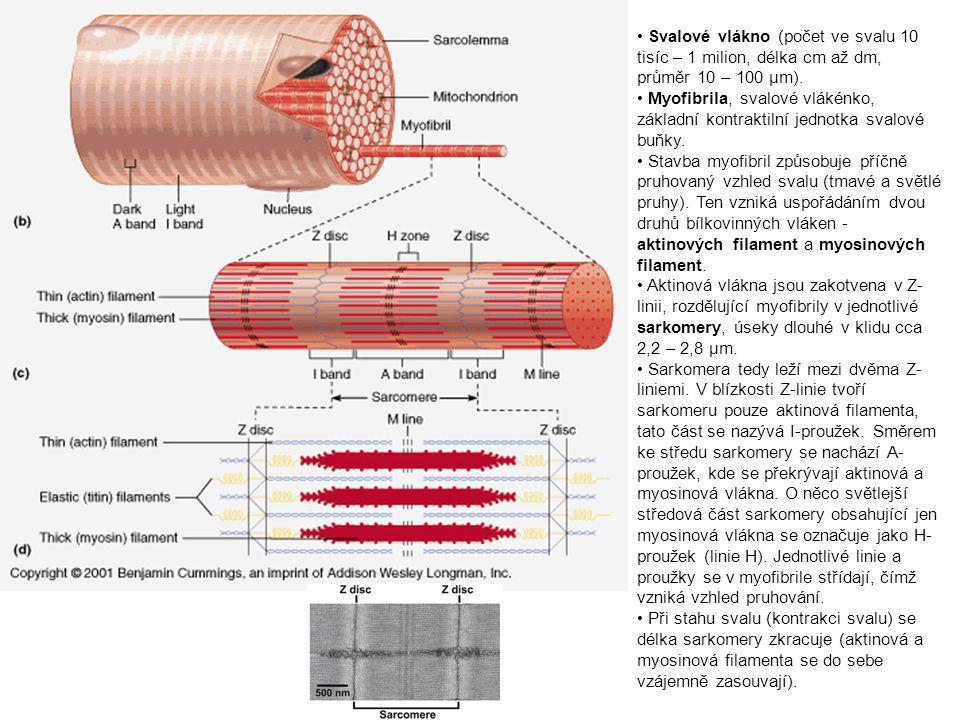 Svalové vlákno (počet ve svalu 10 tisíc – 1 milion, délka cm až dm, průměr 10 – 100 µm). Myofibrila, svalové vlákénko, základní kontraktilní jednotka