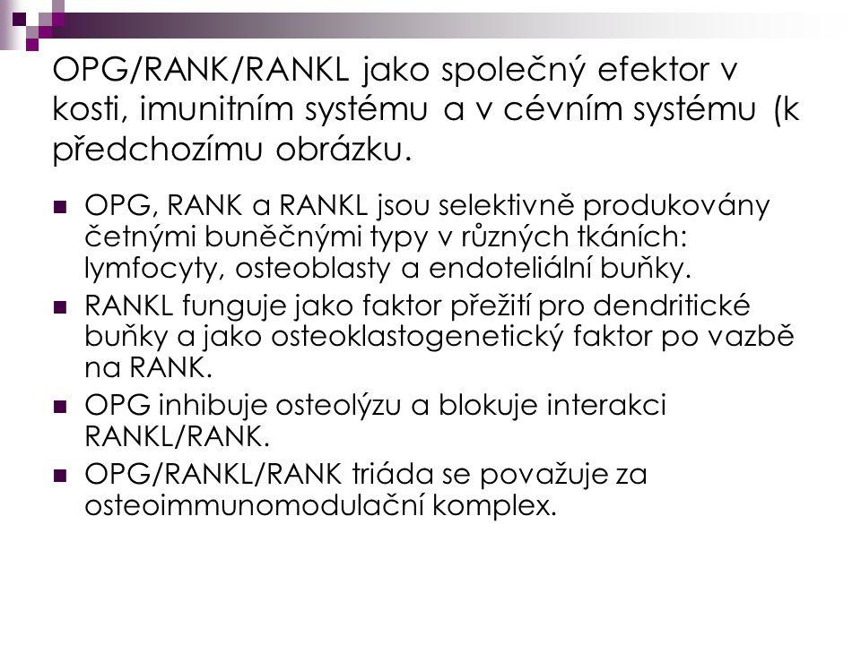 OPG/RANK/RANKL jako společný efektor v kosti, imunitním systému a v cévním systému (k předchozímu obrázku.