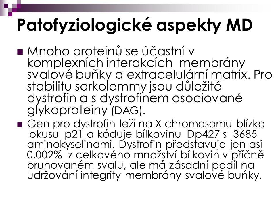 Patofyziologické aspekty MD Mnoho proteinů se účastní v komplexních interakcích membrány svalové buňky a extracelulární matrix.