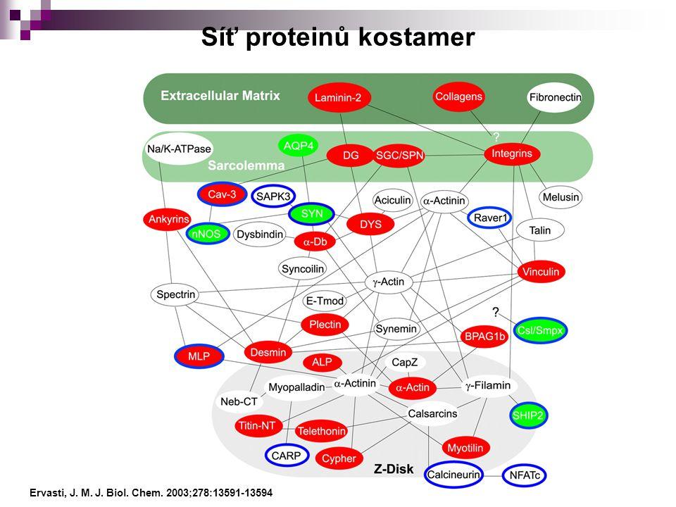Ervasti, J. M. J. Biol. Chem. 2003;278:13591-13594 Síť proteinů kostamer