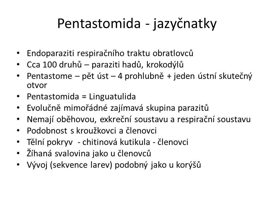 Pentastomida - jazyčnatky Endoparaziti respiračního traktu obratlovců Cca 100 druhů – paraziti hadů, krokodýlů Pentastome – pět úst – 4 prohlubně + jeden ústní skutečný otvor Pentastomida = Linguatulida Evolučně mimořádné zajímavá skupina parazitů Nemají oběhovou, exkreční soustavu a respirační soustavu Podobnost s kroužkovci a členovci Tělní pokryv - chitinová kutikula - členovci Žíhaná svalovina jako u členovců Vývoj (sekvence larev) podobný jako u korýšů