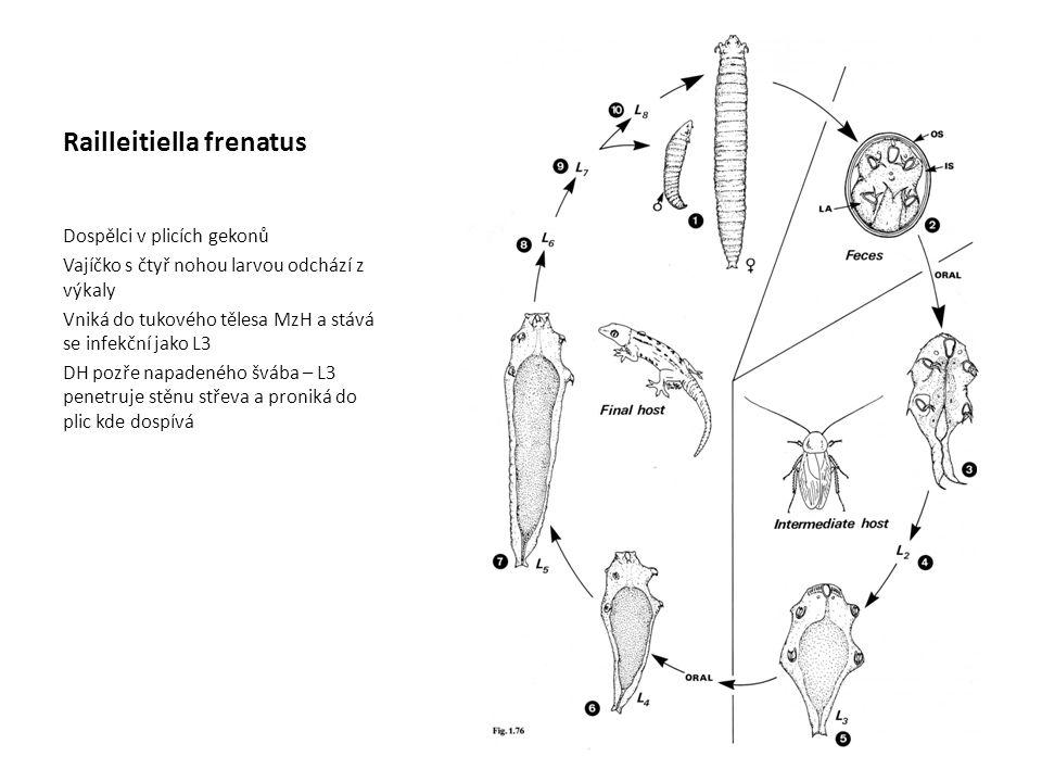 Railleitiella frenatus Dospělci v plicích gekonů Vajíčko s čtyř nohou larvou odchází z výkaly Vniká do tukového tělesa MzH a stává se infekční jako L3 DH pozře napadeného švába – L3 penetruje stěnu střeva a proniká do plic kde dospívá